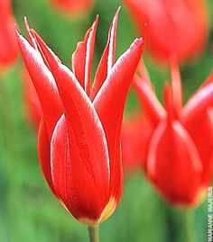 Tulip 'Lucifer' • link to article about the history of tulip breeding and ottoman origins