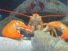 rock lobster!?
