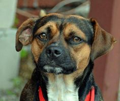 Joshua is a 2 year old, 21lb male Puggle (Beagle- Pug mix). He has a serious look, but let's face it- being this cute is serious business! Joshua does well with other dogs and enjoys the company of people.