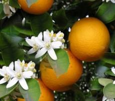 orange blossom-the smell alone is amazing. Oh orange groves I miss you!
