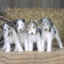 wirehaired fox terrier pups...this is what Jack looked like...too cute!!!