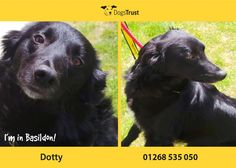 Dotty at Dogs Trust Basildon is a gorgeous girl who is looking for the pawfect home. Her new owners will have to take things slowly and allow dotty to create a bond with you at her own pace. She is a worried girl and her new owners will have to do lots of confidence building training with her.