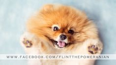 """Flint the Pomeranian's Promo Reel. To see more photos and videos of Flint, visit:  www.FlintThePomeranian.com and www.facebook.com/FlintThePomeranian   Flint's first promo reel!  Watch as he turns ideas into photos. :)  Music:  """"Golden"""" by Holley Maher, licensed by The Music Bed"""