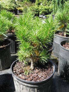 'Chief Joseph' Pinus Contorta in #2 pots at the nursery.  Green now, just wait till fall, it will be bright yellow.