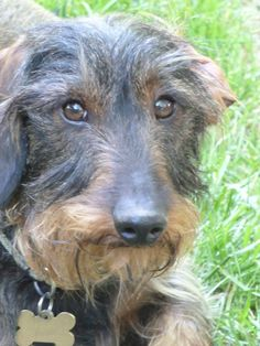 Axel... wirehaired dachshund