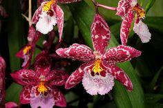 hybrid oncidopsis yokara x oncidium leucochilum species plant and flowers | 6130393259_711f54dc3f_z.jpg