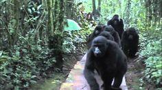 Gorilla kissing Man: Touched by a Wild Mountain Gorilla