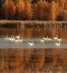 Photographer Шангареев Марс - Лебединая осень #1991006. 35PHOTO
