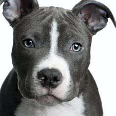 Uplifting So You Want A American Pit Bull Terrier Ideas. Fabulous So You Want A American Pit Bull Terrier Ideas. Pitbull Terrier, Bull Terriers, Rat Terrier Dogs, Terrier Mix, Staffordshire Terriers, American Staffordshire, American Pitbull, Pit Bull Love, Tier Fotos