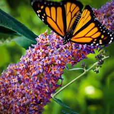 Royal Red Butterfly Bush For Sale Butterfly Bush, Butterfly Flowers, Blue Flowers, Butterflies, Blueberry Lemon Scones, Blueberry Cobbler, Blueberry Cheesecake, Butterfly Garden Plants, Royal Red