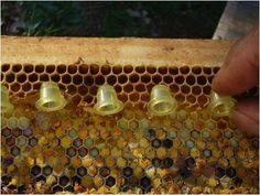 How to raise queen bees to expand your apiary and get more beehives - Gardening For Life Honey Bee Hives, Honey Bees, Bee Hive Plans, Beekeeping For Beginners, Buzzy Bee, Raising Bees, Bee Boxes, Backyard Beekeeping, Bee Farm