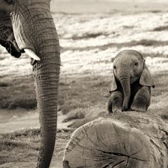 A baby elephant and mother.