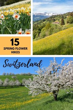 The best spring flower hikes in Switzerland for April to June, to see cherry blossoms, crocus, narcissus, dandelions and wildflowers. Click through for trail maps, directions and all the details you need to plan your hike. Best Of Switzerland, Hiking Europe, Hiking With Kids, Trail Maps, Zermatt, Best Hikes, Dandelions, Cherry Blossoms, Hiking Trails