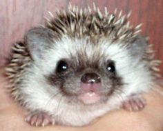 African pygmi hedgehog - sometimes it seems they are smiling to you