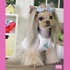 Japanese Style Dog Grooming Pictures- tbh, not sure if it's a yorki, but cute Dog Grooming Styles, Dog Grooming Tips, Japanese Dog Grooming, Asian Dogs, Yorkie Haircuts, Creative Grooming, Yorky, Yorkshire Terrier Dog, Yorkie Puppy