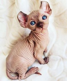30 Images In Appreciation Of Sphynx Kitties – People love kittens because they are little and fluffy – but what's hiding underneath all that fur? Cute Kittens, Cats And Kittens, I Love Cats, Crazy Cats, Gato Sphinx, Spinx Cat, Cute Hairless Cat, Gatos Cat, Fluffy Cat