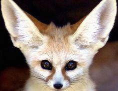 """Animals That Dig,"" Our Fennec Fox"