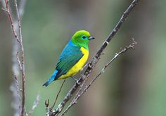 Blue-naped Chlorophonia (Chlorophonia cyanea) is a colourful South American species of bird in the family Fringillidae