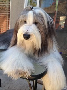 Bearded Collie....oops, I thought this was a stuffed animal until I looked at the other pictures. Just WAY to cute!