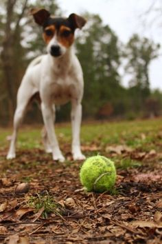 I wish my Rat Terrier's were a ball dogs... if it doesn't move or squeak they have zero interest.