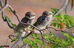 Common name: Spotted Owlet Scientific name: Athene brama