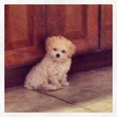 Why so cute Boo?  #maltipoo