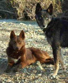 American Indian Dogs. These are beautiful creatures, my boyfriend of nearly three years and I are both of some Indian heritage (him moreso than I) and he would be thrilled to have one someday, they are amazing pets and hopefully I'll be able to surprise him with one as a gift someday soon