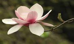 magnolia - Dignity