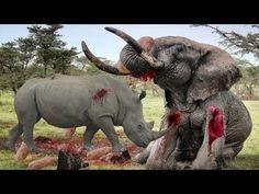 León vs búfalo, tigre vs jabalí, elefante vs rhinoceros✬Ataques De Anima...