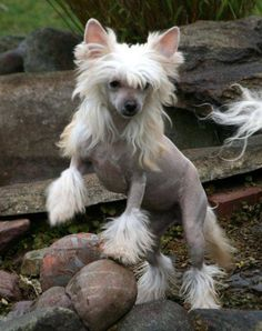 HHL Chinese crested.chantal,s Juicy Peaches