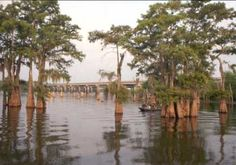 Cypress swamp, Lake Henderson, part of the   Atchafalaya Basin.