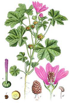 Malva (Malva silvestris L.)