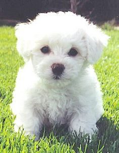 Bichon Puppy... This is what Rugby looked like when we got him :). Cutie.