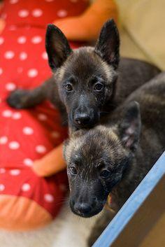 Dutch shepherd babies!
