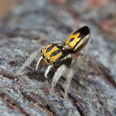 Purcell's peacock spider (Maratus purcellae)