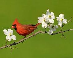 Cardinal Male 8x10 Animal Photography Nature by NatureIsArt, $25.00