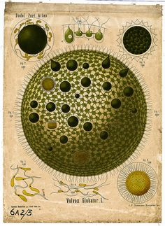 "Volvox globator  ""This shows the freshwater green alga Volvox globator. Many individual cells live together forming a beautiful spherical colony. Some of them are specialized for reproduction."" #BibliOdyssey"