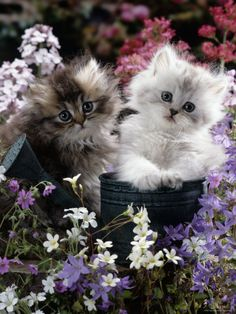 Gold-Shaded and Silver-Shaded Persian Kittens in Watering Can Surrounde. - Gold-Shaded and Silver-Shaded Persian Kittens in Watering Can Surrounded by Flowers Photog - Cute Kittens, Kittens And Puppies, Fluffy Kittens, Fluffy Cat, Pretty Cats, Beautiful Cats, Animals Beautiful, Beautiful Babies, Beautiful Pictures
