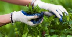 #Υγεία #Διατροφή Η τσουκνίδα :Το φυτό με τις 60 διαφορετικές θεραπείες που θα πρέπει να γνωρίζετε … ΔΕΙΤΕ ΕΔΩ: http://biologikaorganikaproionta.com/health/203958/
