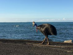 Guess what we saw at a local boat ramp......this Cassowary strolled up to inspect the days catch...such a special surprise!#thisismyparadise #northqueensland #cassowary