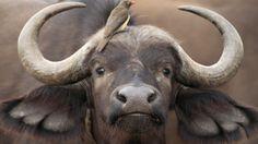 BÚFALO AFRICANO Syncerus caffer #Tanzania #Serengeti #safari #fauna #animals