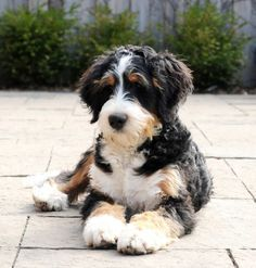 New Dogs Bernese Mountain Poodle Mix Ideas Cute Puppies, Dogs And Puppies, Cute Dogs, Doggies, Dogs Pitbull, Animals And Pets, Baby Animals, Cute Animals, Chien Goldendoodle