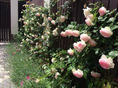 rose, pierre de ronsard, rosegarden, garden photo