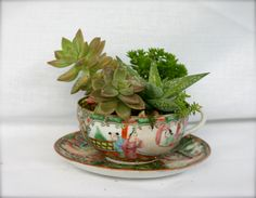 Succulents and Dry Garden Planted in a Teacup.