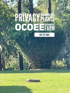 Put #bamboo near your firepit #firepitideas to add a #privacy #screen and #beautifularchitecture to your #backyard #landscape #fence and #fenceideas ovoee bamboo farm 407-777-4807 Yard Privacy, Privacy Hedge, Privacy Plants, Bamboo Plants For Sale, Buy Bamboo, Clumping Bamboo, Central Florida, Beautiful Architecture, Hedges