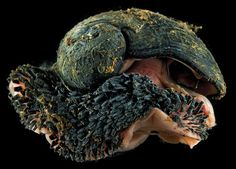 Scaly-foot Gastropod: The Snail With an Armor of Iron   Amusing Planet