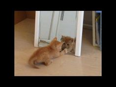 kitten discovers the mirror