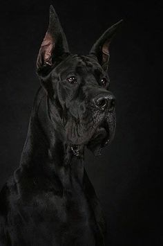 great dane dog .. majestic ... & more good than water