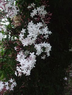 How to Grow Jasmine via www.wikiHow.com.My friend in Houston raves about the essence of Jasmine at night.