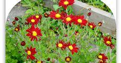 луковичные цветы, многолетники,  садовые цвет,как правильно вырастить сохранить цветы